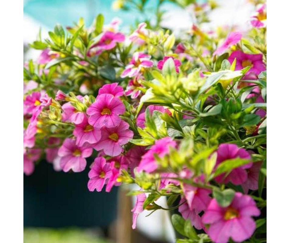PETUNIA ALIZES X6 PLANTS EN PACK