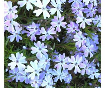 PHLOX SUBULATA EMERALD CUSHION BLUE