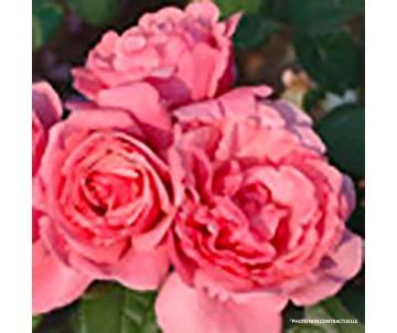 ROSA A GROSSES FLEURS POT 5L