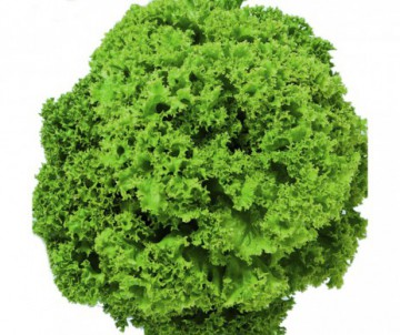LAITUE LOLLO BLONDE LEVISTRO X6 PLANTS