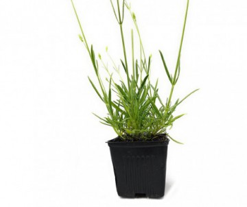 LAVANDULA ANGUSTIFOLIA TWICKEL PURPLE POT DE 2 LITRES