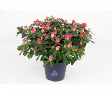 AZALEA HORTINNO DIFFERENTES COULEURS POT DE 13CM DE DIAMETRE