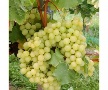 VIGNE A FRUITS  VITIS MUSCAT BLANC POT DE 1