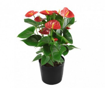 ANTHURIUM AND VOLARE ROUGE POT DE 14CM DE DIAMETRE