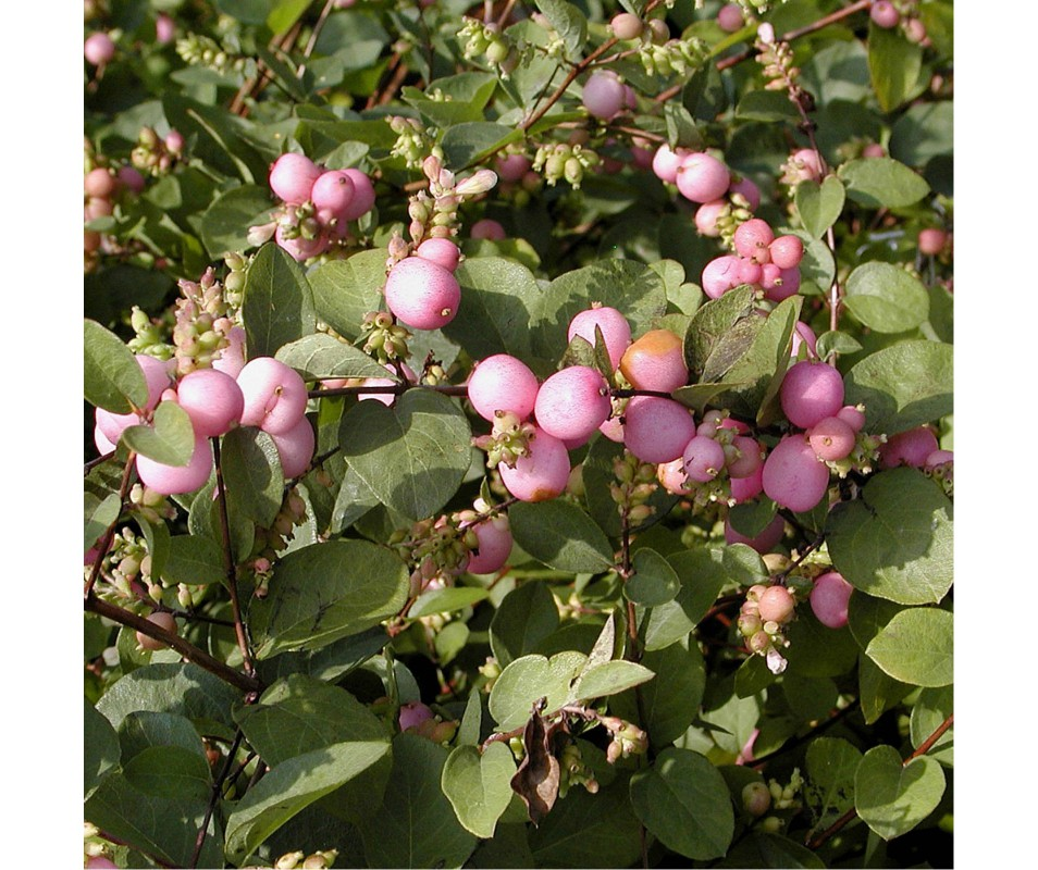 SYMPHORICARPOS MAGIC BERRY POT DE 4L HAUTEUR 60/90CM