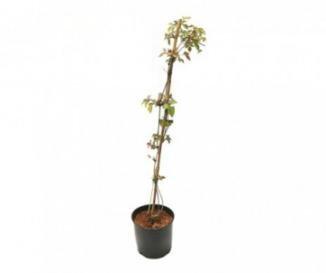 RUBUS AUTUMN BLISS POT DE 1.5L