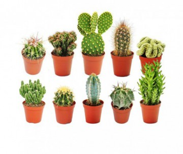 CACTUS DIFFERENTES VARIETES + CACHE POT