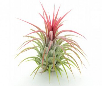 TILLANDSIA DIFFERENTES VARIETES