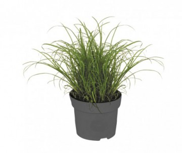 HERBE A CHAT NEPETA CATARIA POT DE 12CM DE DIAMETRE