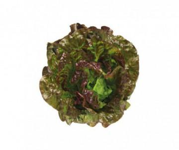 BATAVIA ROUGE GRENOBLOISE X12 PLANTS