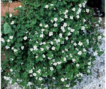 VERVEINE X6 PLANTS EN GODET DE 7CM DE COTE