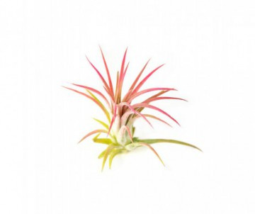 TILLANDSIA CREATIVE RED