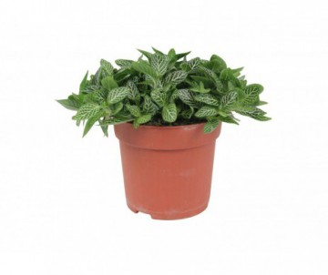 FITTONIA POT DE 9CM DE DIAMETRE