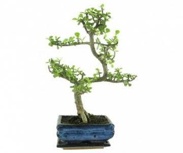 BONSAI DE 8 ANS