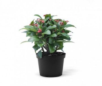 EUPHORBIA MINI POT DE 5