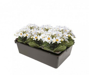 PAQUERETTE SIMPLE X6 PLANTS EN GODET DE 7CM X 7CM