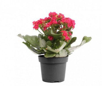 KALANCHOE  CALANDIVA DIFFERENTE COULEURS POT DE 6CM DE DIAMETRE