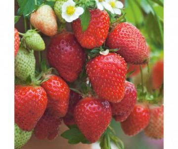 FRAISIER OSTARA X6 PLANTS