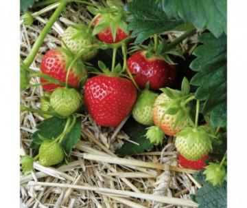 FRAISIER SURPRISE HALLES X6 PLANTS GODET