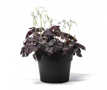 OXALIS TRIANGULARIS POT DE 12CM DE DIAMETRE