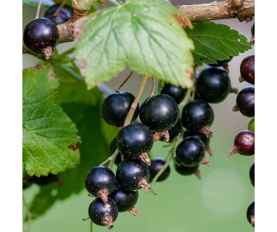 RIBES CASSIS BLACKDOWN POT...