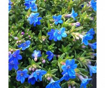 LITHODORA DIFUSA HEAVENLY BLUE