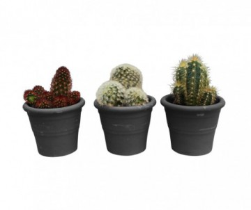 CACTUS DIFFERENTES VARIETES