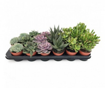 SUCCULENTES DIFFERENTES VARIETES POT DE 5