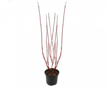 PHOTINIA RED ROBIN POT  DE 25L