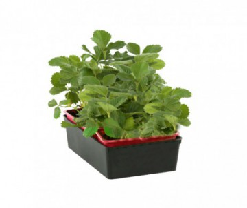 FRAISIER GENTO X6 PLANTS GODET DE  7CM X 7CM