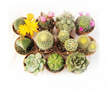 CACTUS DIFFERENTES VARIETES POT DE 5