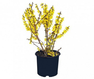 FORSYTHIA INTERMEDIA LYNWOOD POT DE 3L