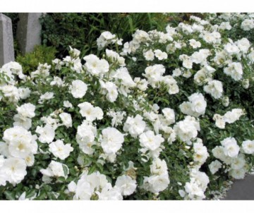 ROSIER  ROSA DECOROSIER OPALIA POT DE 2L