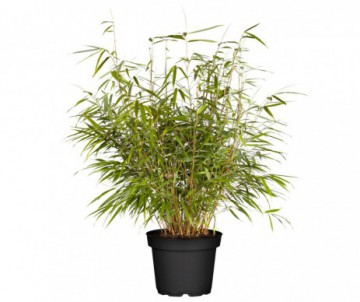 BAMBUSA FARGESIA ASIAN WONDER POT DE 5 LITRES