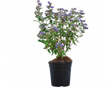 CARYOPTERIS GRAND BLEU POT DE 4