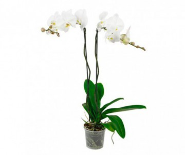 PHALAENOPSIS 2 TIGES POT DE 12CM DE DIAMETRE