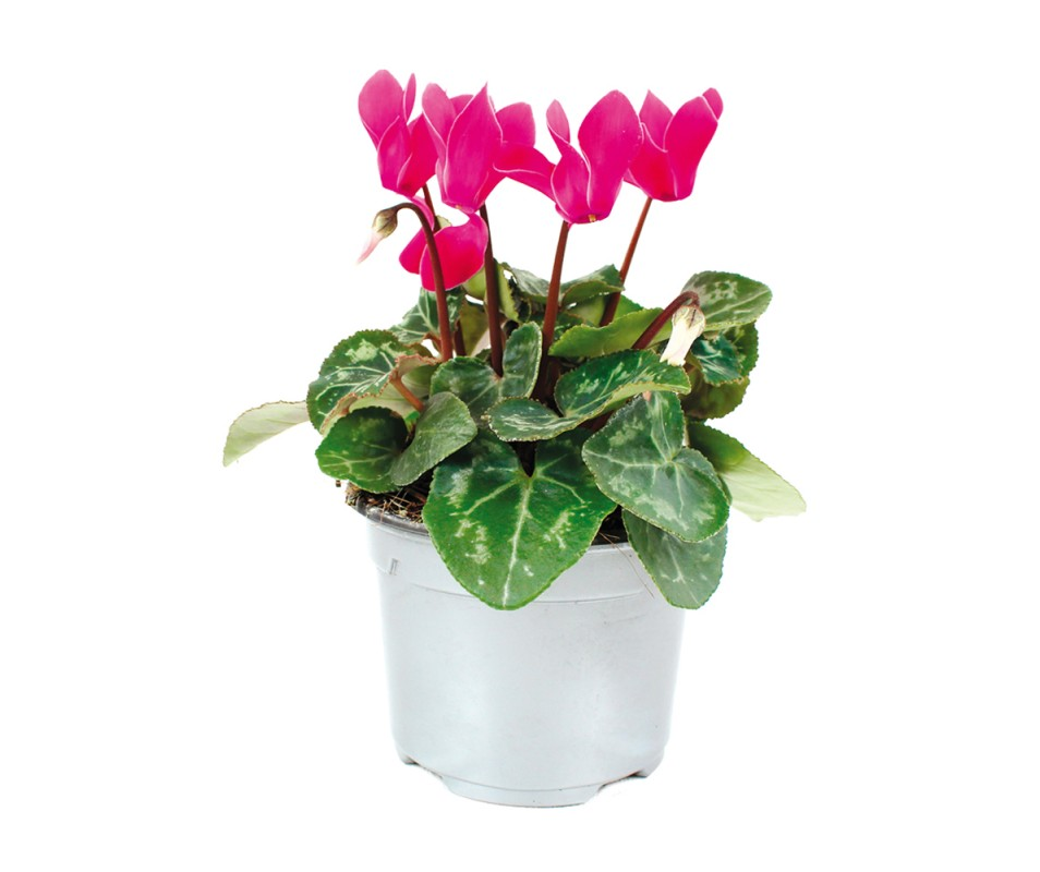 MINI-CYCLAMEN EN POT DE...