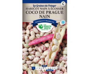 HARICOT NAIN COCO ROSE DE PRAGUE